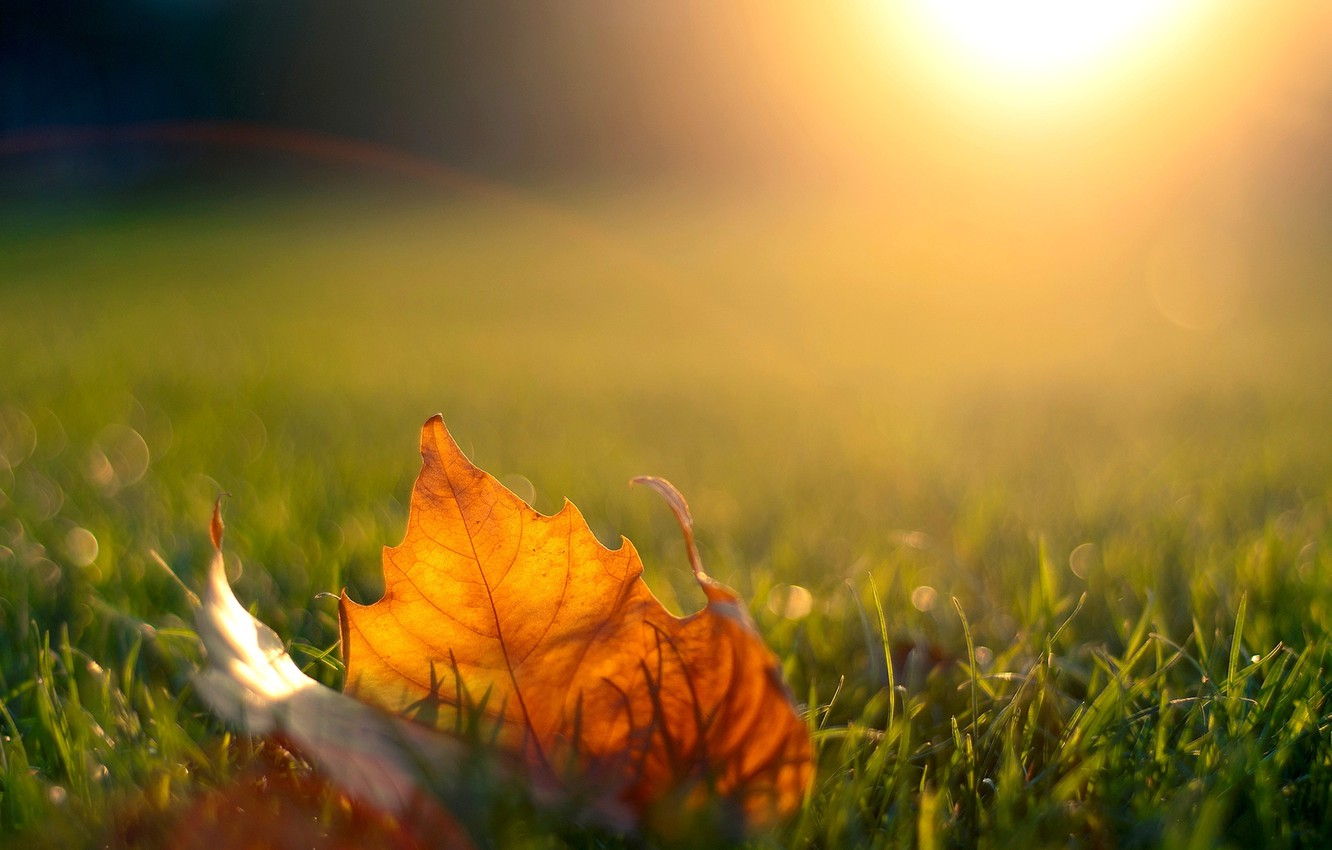 Photo wallpaper autumn, grass, the sun, light, sunset, nature, sheet, the evening, maple