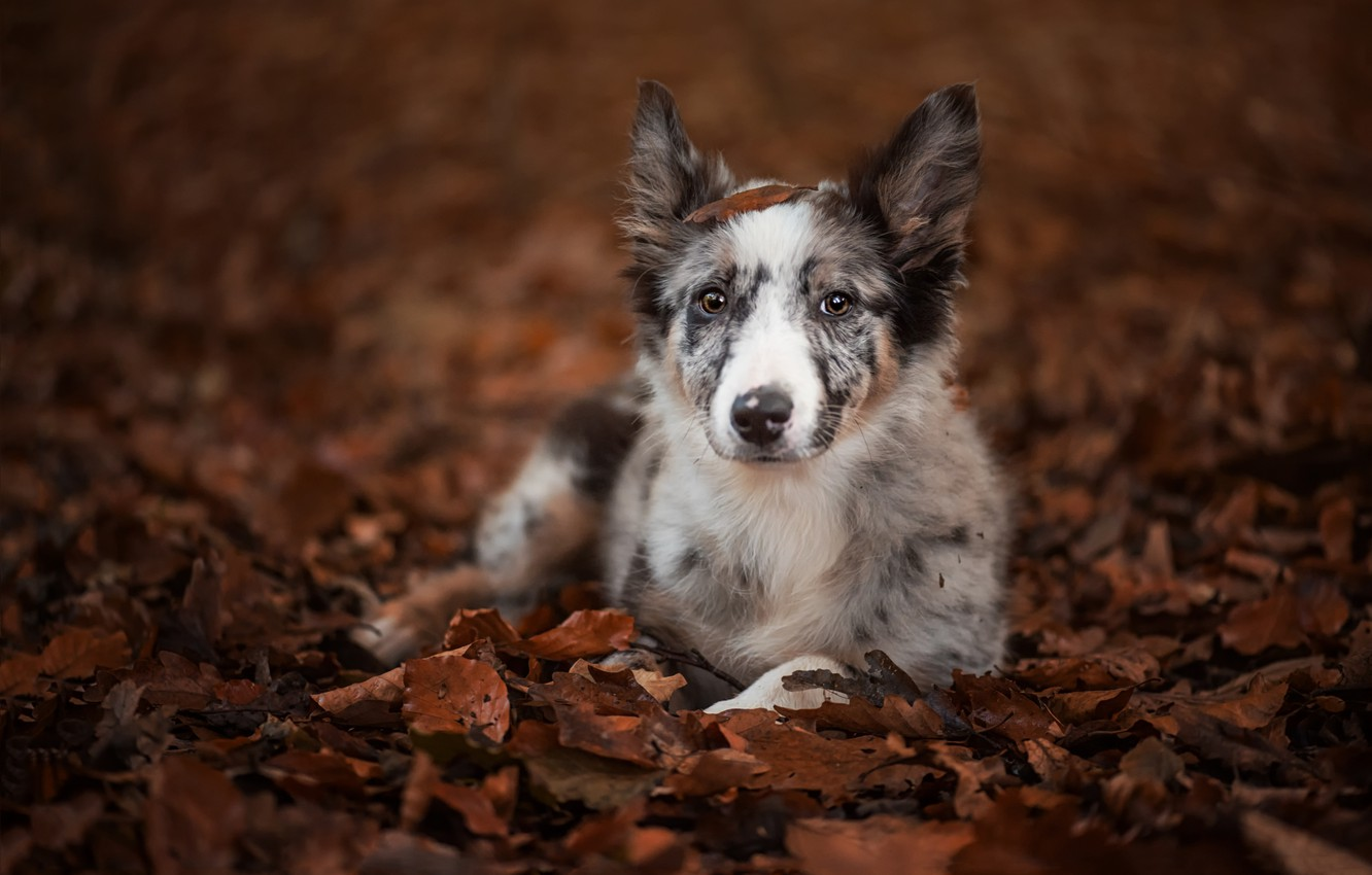 Photo wallpaper autumn, look, leaves, dog, puppy, The border collie