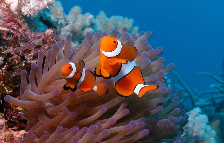 Photo wallpaper fish, the ocean, two, the bottom, clown fish