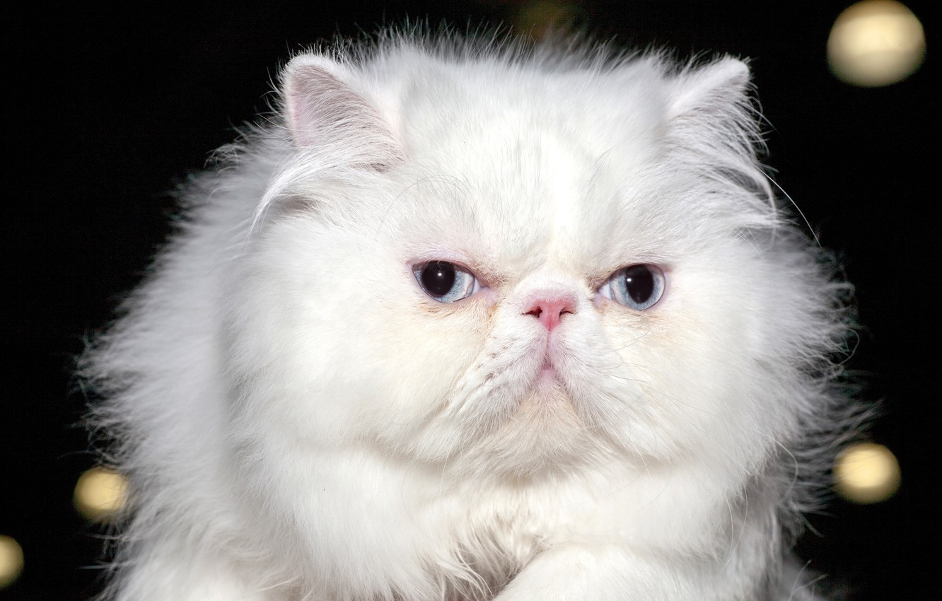 Photo wallpaper cat, eyes, look, background, blur, white, fluffy, Persian