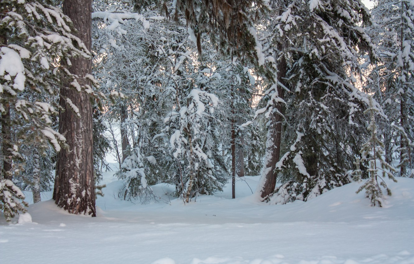 Photo wallpaper winter, forest, snow, trees, nature, frost, forest, Nature, trees, winter, snow, frost