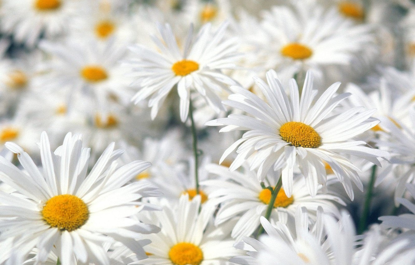 Photo wallpaper Flowers, White, Chamomile