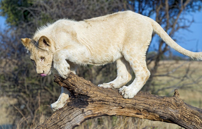 Photo wallpaper predator, wild cat, young, white lion