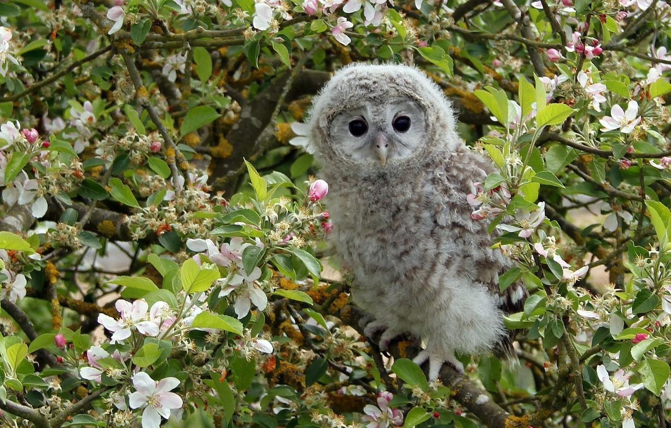 Photo wallpaper branches, tree, owl, bird, Apple, flowering, chick, flowers, owlet