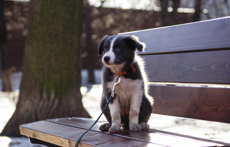 Photo wallpaper dogs, dog, border collie