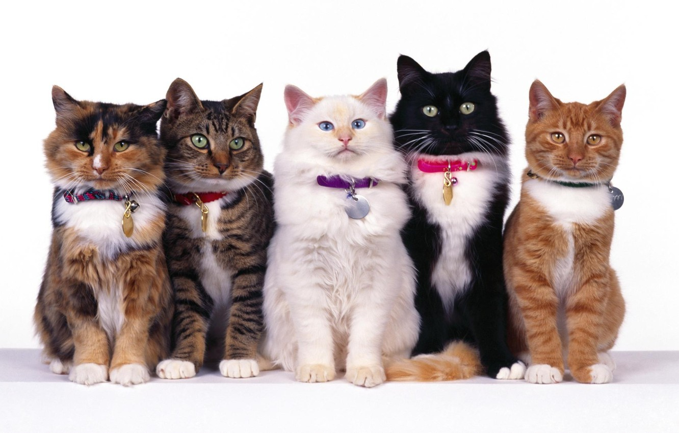Photo wallpaper white, eyes, cat, mustache, together, black, cats, red, striped, five, spotted, sitting, collars