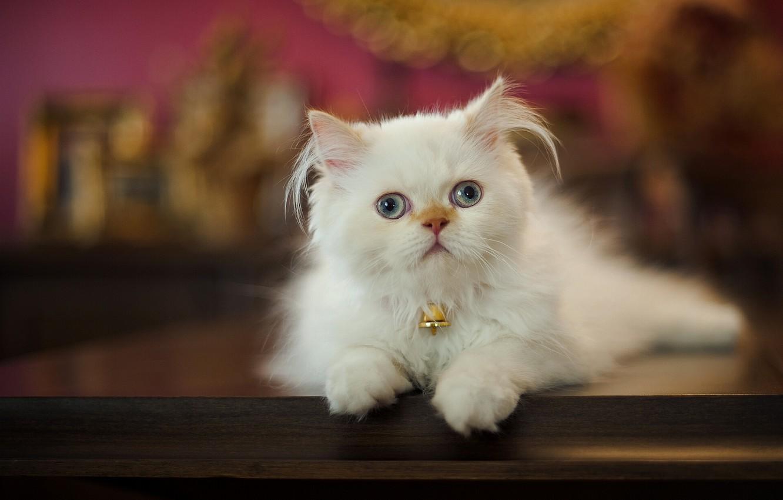 Photo wallpaper look, fluffy, Persian cat