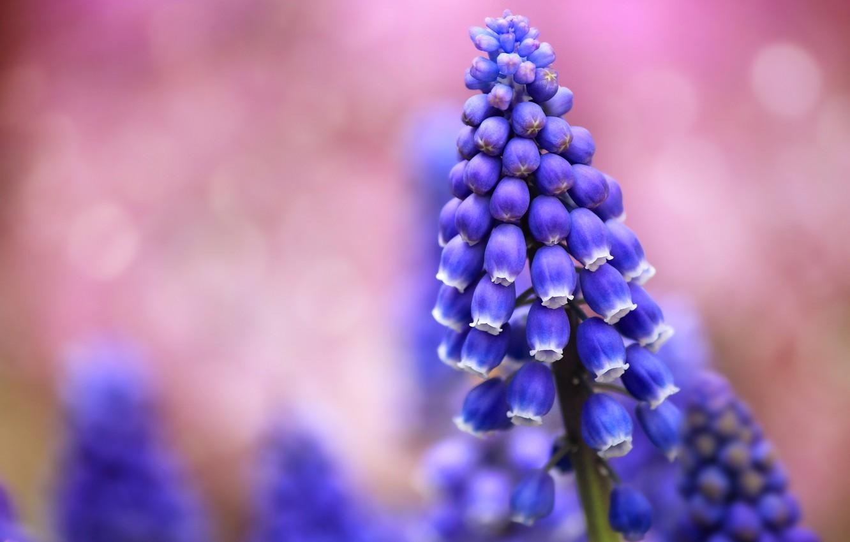 Photo wallpaper field, macro, flowers, glare, background, pink, blur, blue, Muscari
