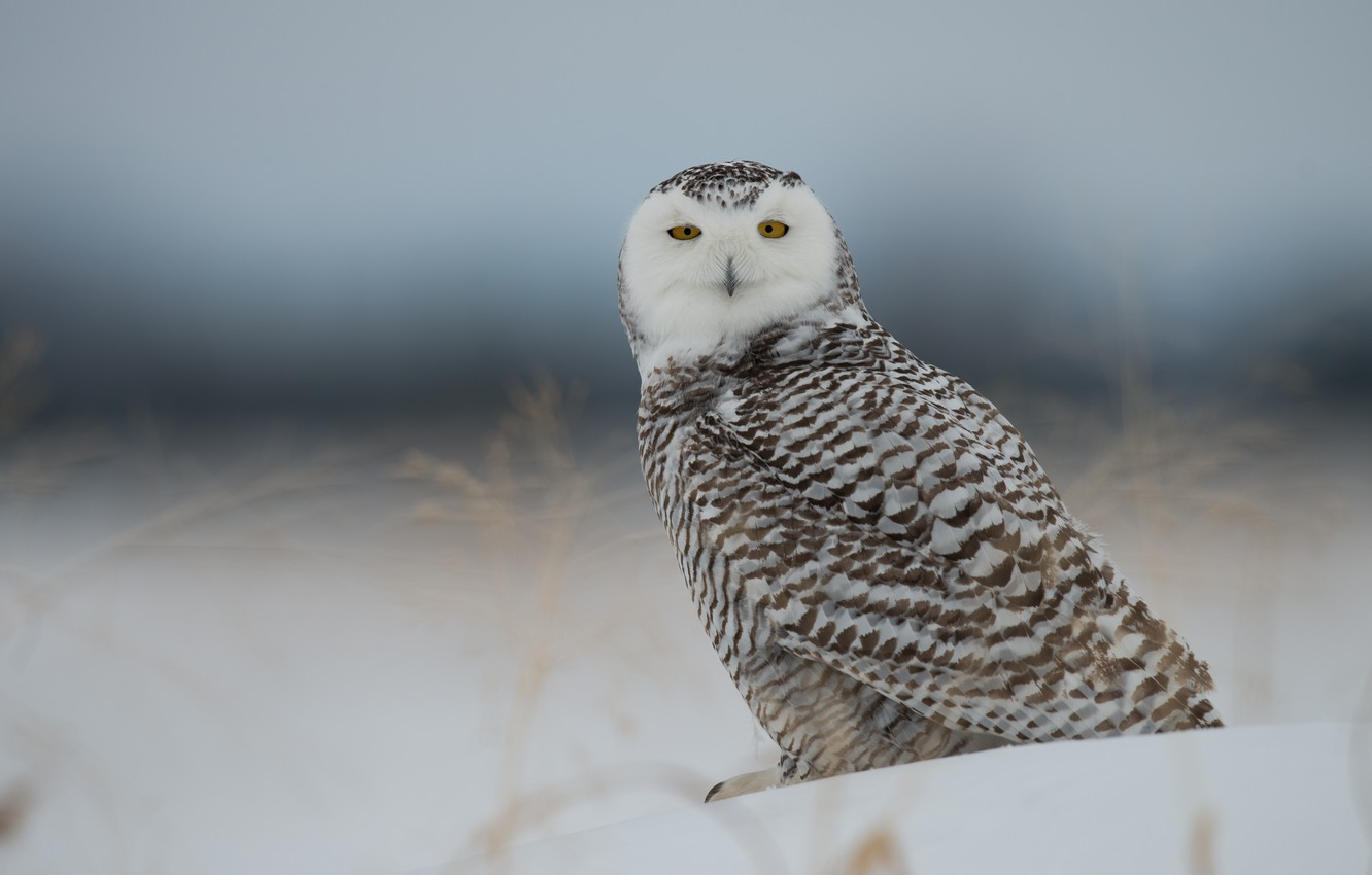Photo wallpaper snow, bird, snowy owl, white owl