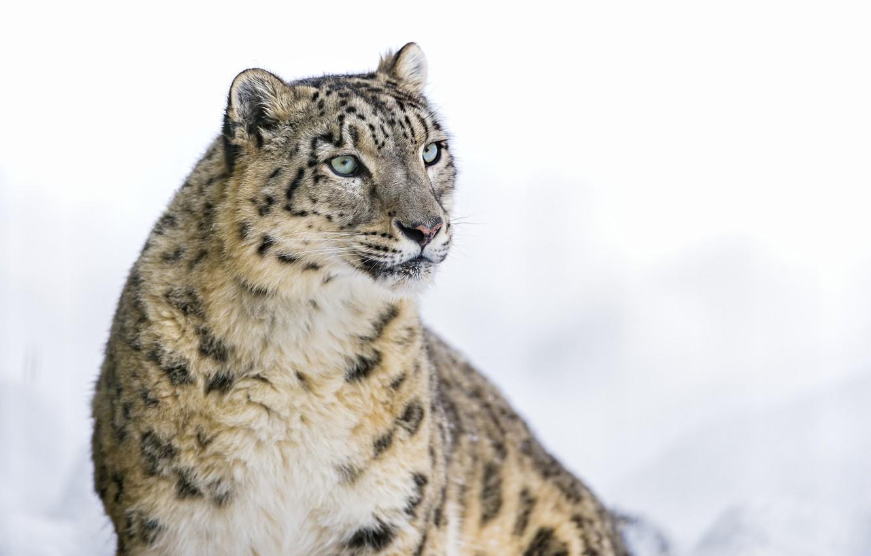 Photo wallpaper IRBIS, snow leopard, big cat