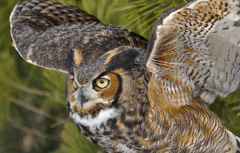 Photo wallpaper owl, bird, wings, owl, Virgin Filin