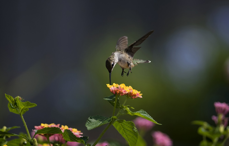 Photo wallpaper macro, flowers, bird, Hummingbird, Sunny