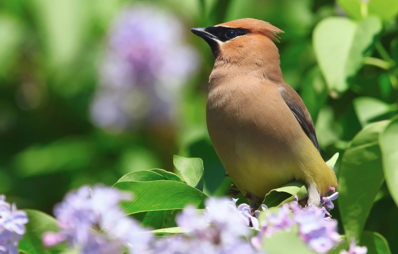 Photo wallpaper flowers, nature, bird, Bush, spring, serene, the Waxwing
