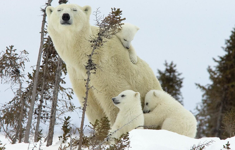 Photo wallpaper winter, bear, bears