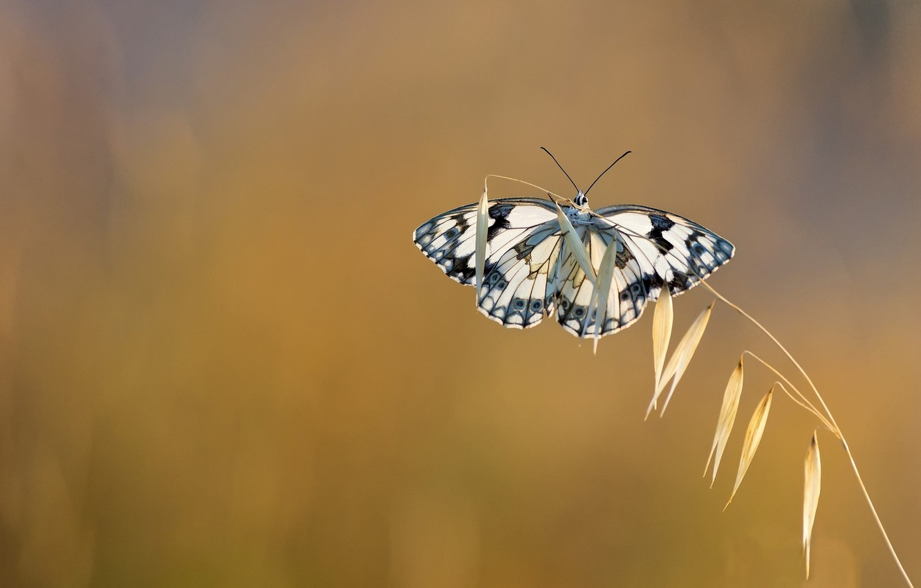 Photo wallpaper background, butterfly, a blade of grass