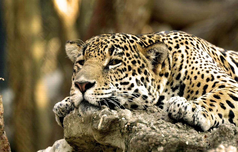Photo wallpaper face, leopard, Lazy Leopard