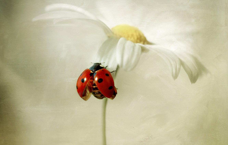Photo wallpaper flower, ladybug, Daisy, white