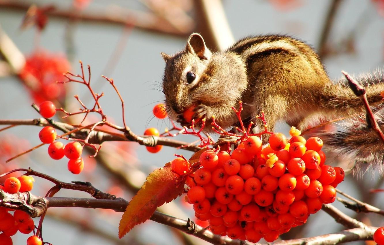 Photo wallpaper berries, fruit, Chipmunk, Rowan, stocks