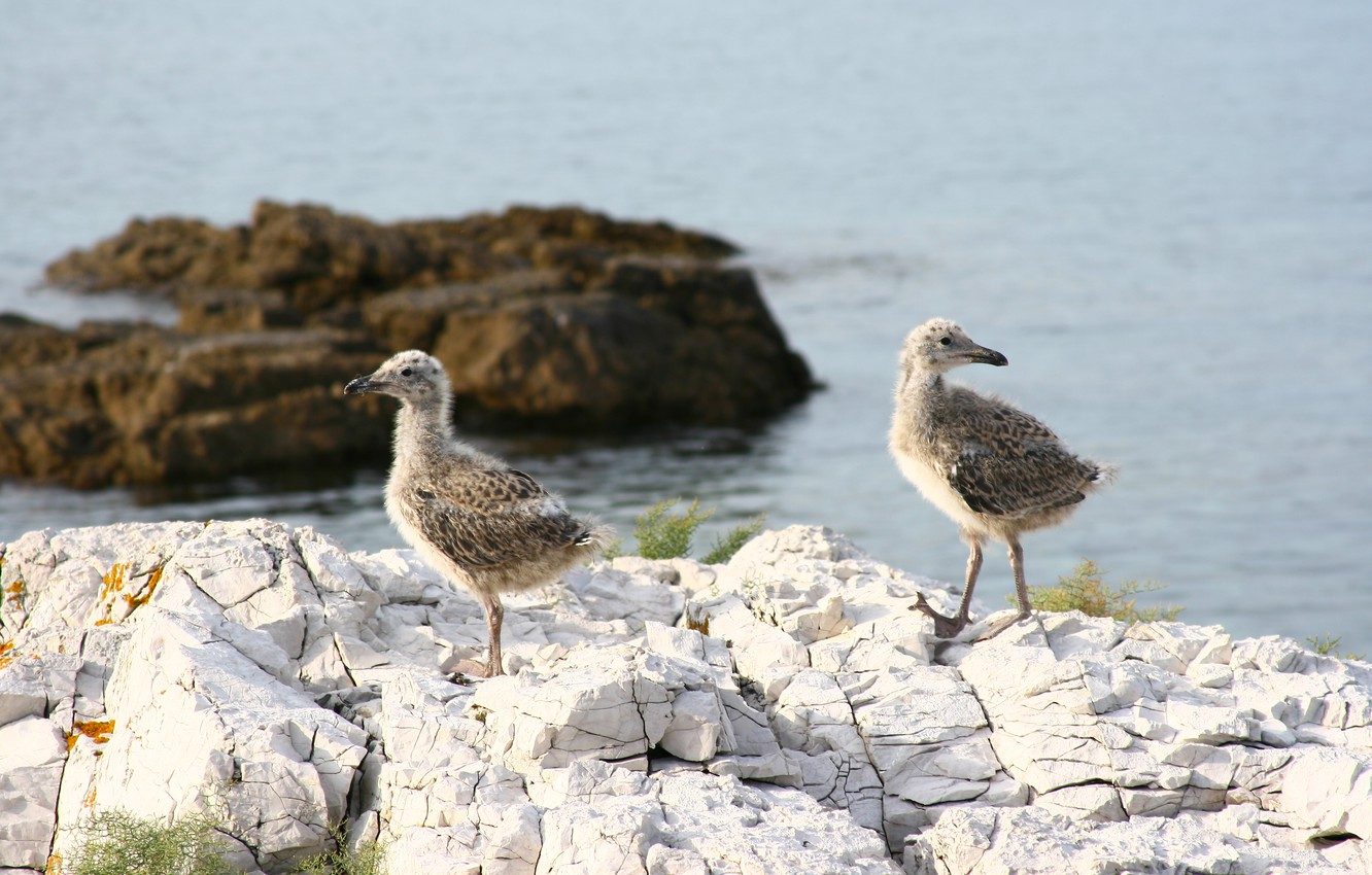 Photo wallpaper sea, animals, nature, stones, seagulls, brothers, Chicks