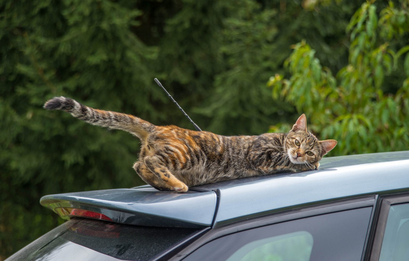 Photo wallpaper machine, auto, cat, cat, the situation, tail, trip, on the roof