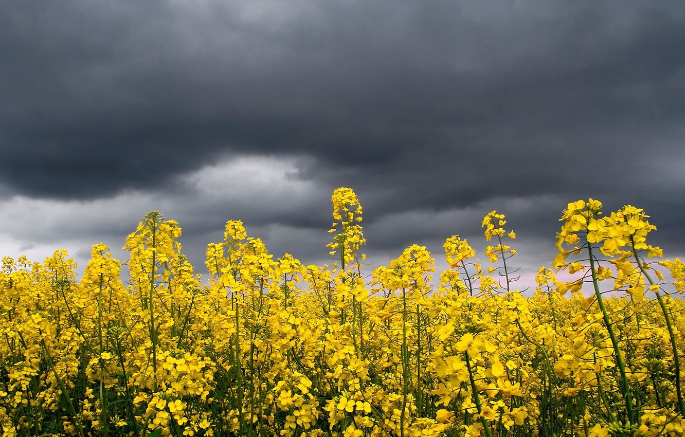 Photo wallpaper the storm, the sky, flowers, yellow, bright, clouds