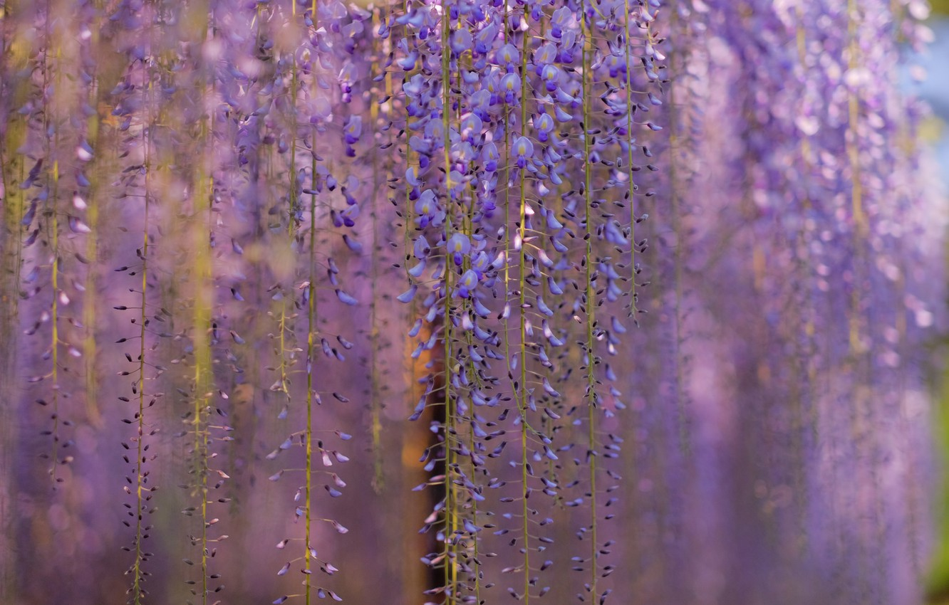 Photo wallpaper macro, flowers, branches, tree, blur, lilac, Wisteria, Wisteria, curtains spring