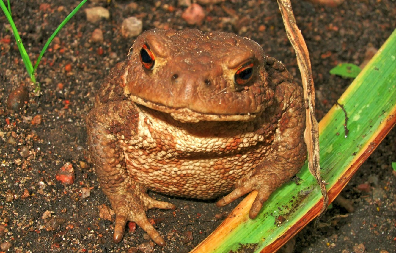 Photo wallpaper animals, macro, toad