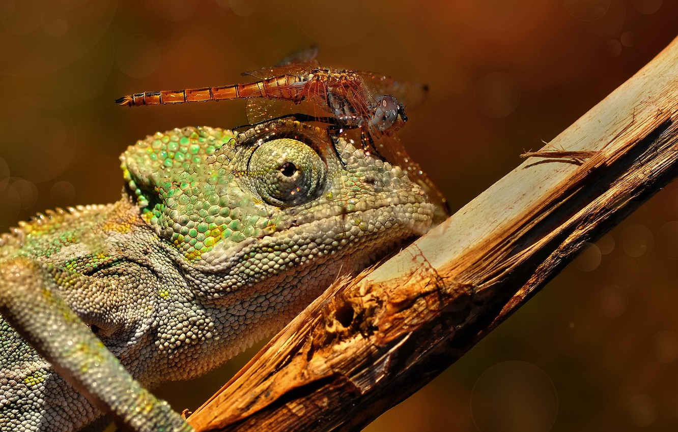 Photo wallpaper macro, branch, dragonfly, lizard, insect, chameleon