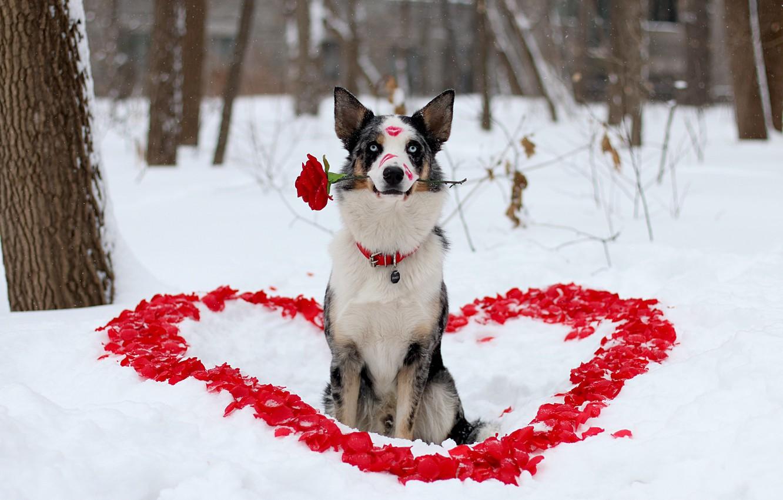 Photo wallpaper winter, flower, look, love, each, rose, dog, petals, lipstick, dog, heart