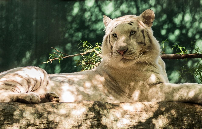 Photo wallpaper predator, log, white tiger