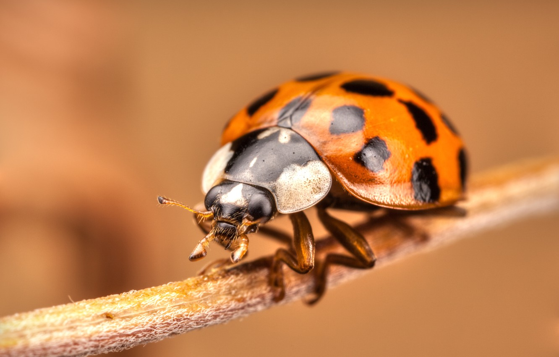 Photo wallpaper ladybug, stem, insect, bokeh