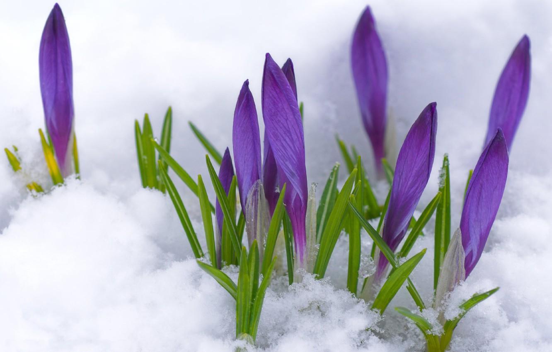Photo wallpaper purple, macro, snow, flowers, spring, buds, primrose, Crocuses