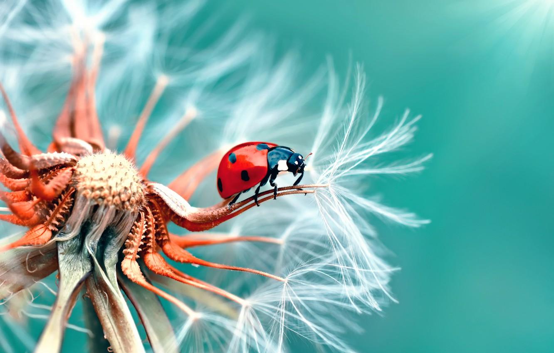 Photo wallpaper macro, dandelion, ladybug