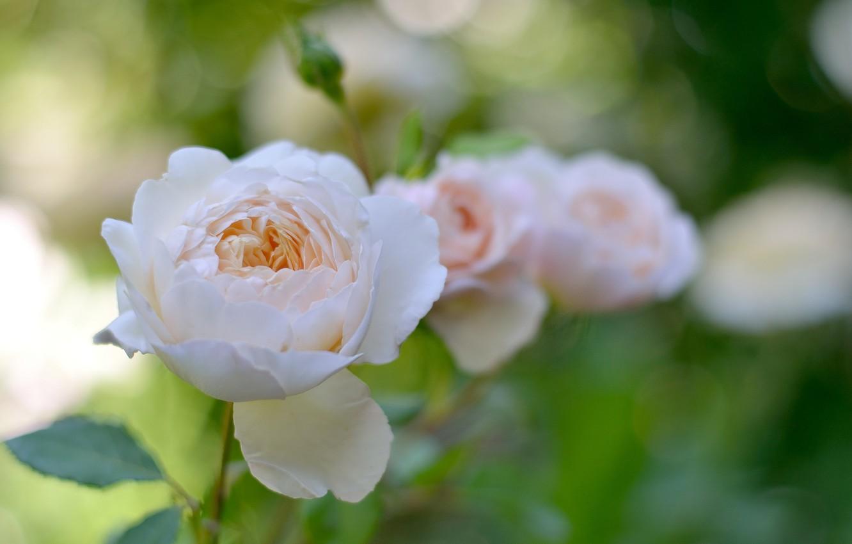 Photo wallpaper flower, leaves, nature, gentle, rose, garden