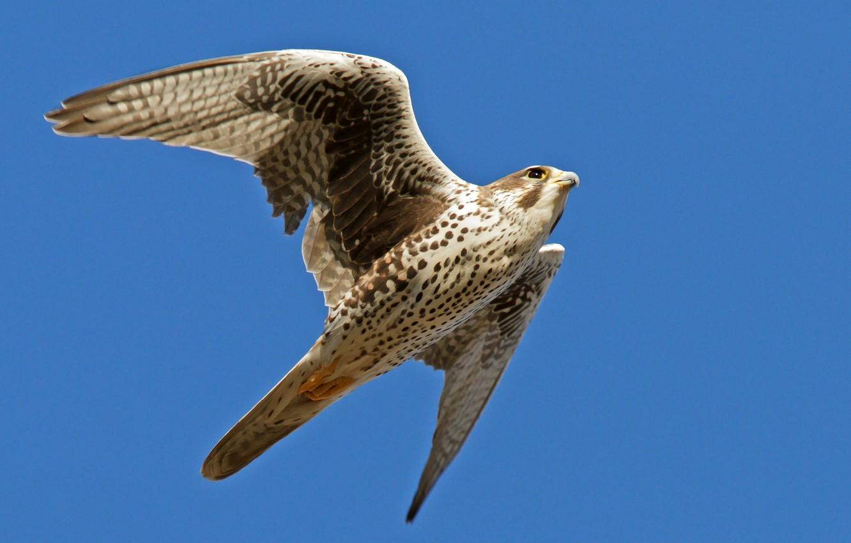 Photo wallpaper the sky, flight, blue, background, bird, wings, Falcon, stroke