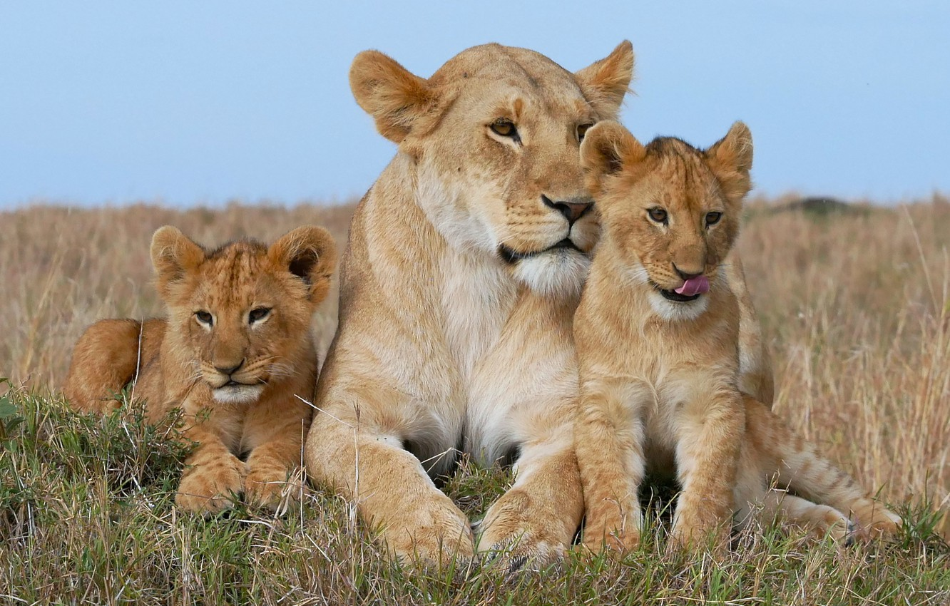 Photo wallpaper Leo, family, the cubs, lioness, cubs