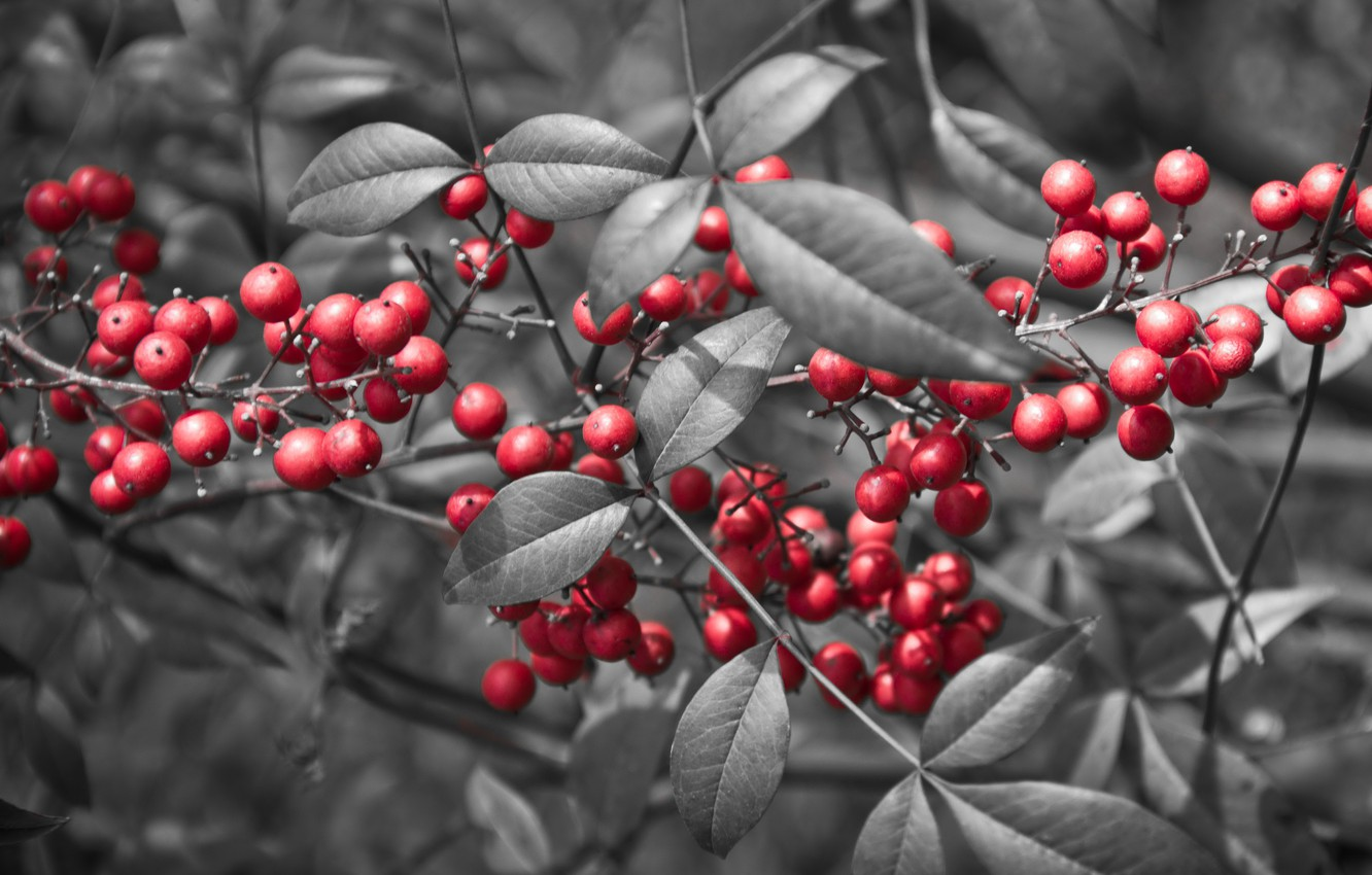 Photo wallpaper leaves, berries, branch, red