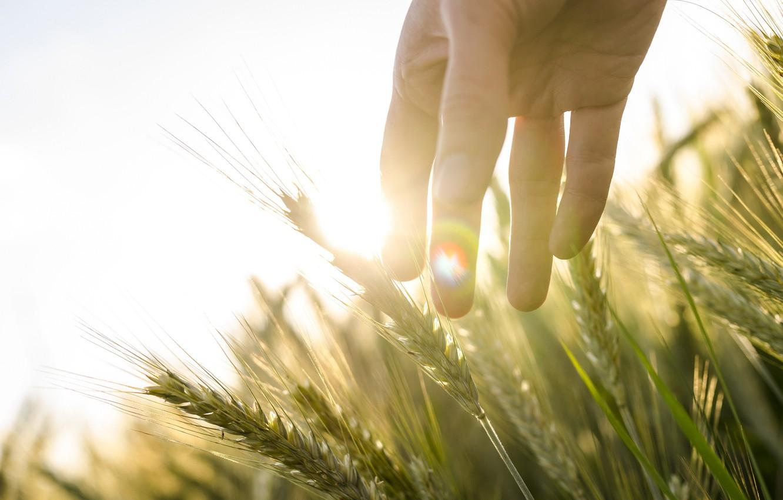 Photo wallpaper wheat, field, the sun, light, rye, hand, ears