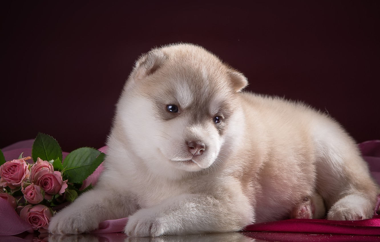 Photo wallpaper flowers, roses, cute, puppy, husky