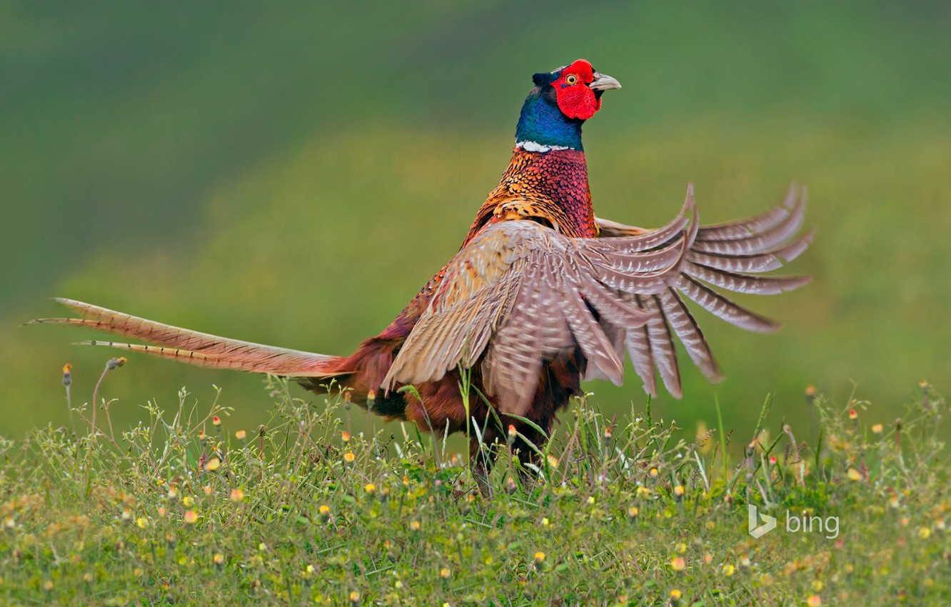 Wallpaper Bird Feathers Tail Netherlands Pheasant Texel