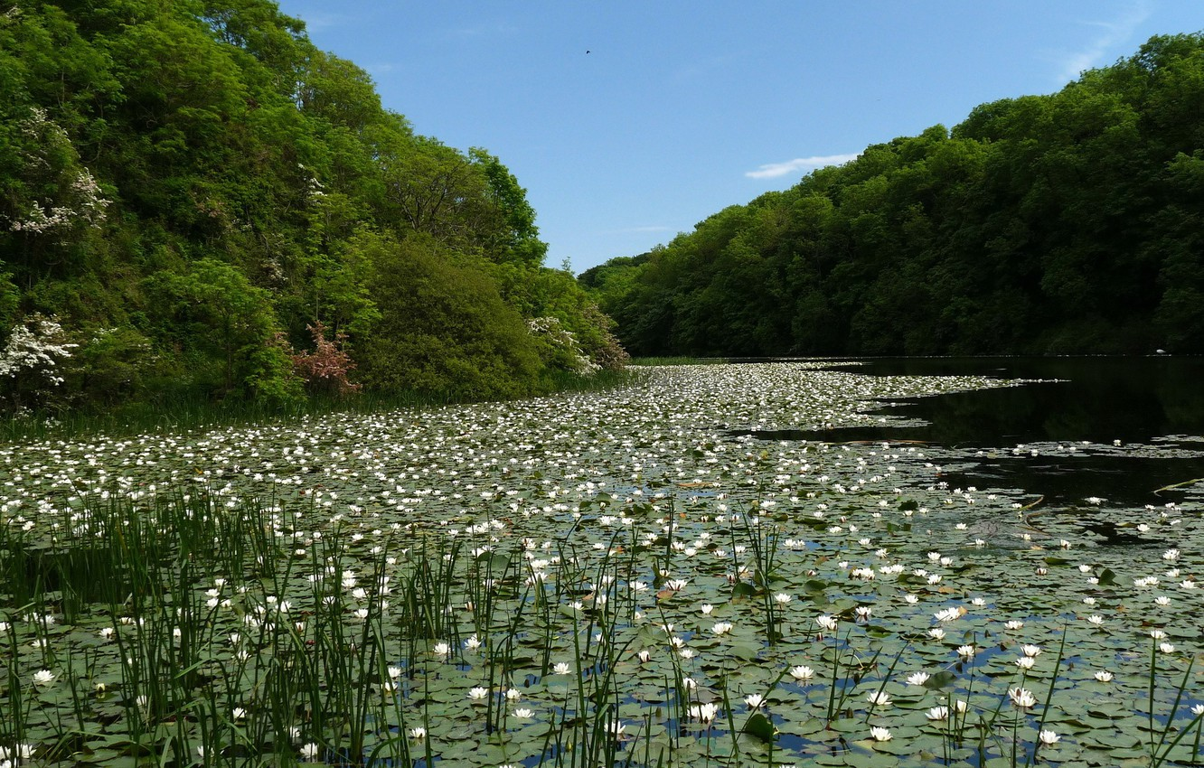 Photo wallpaper forest, lake, pond, white, water lilies