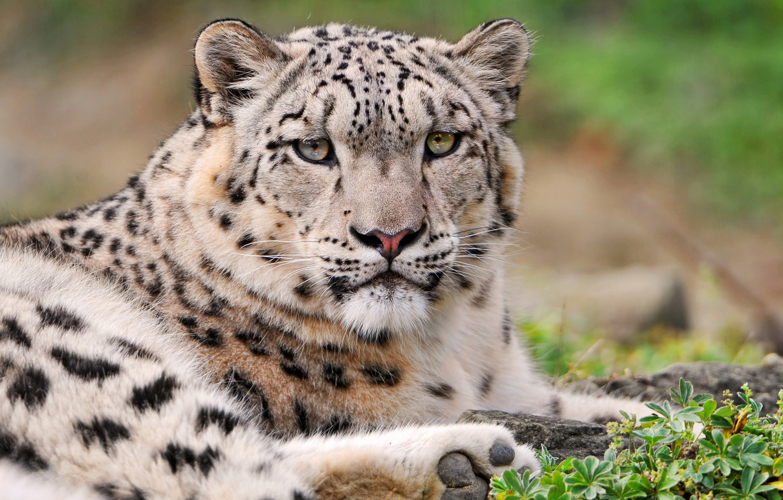 Photo wallpaper IRBIS, snow leopard, gloomy