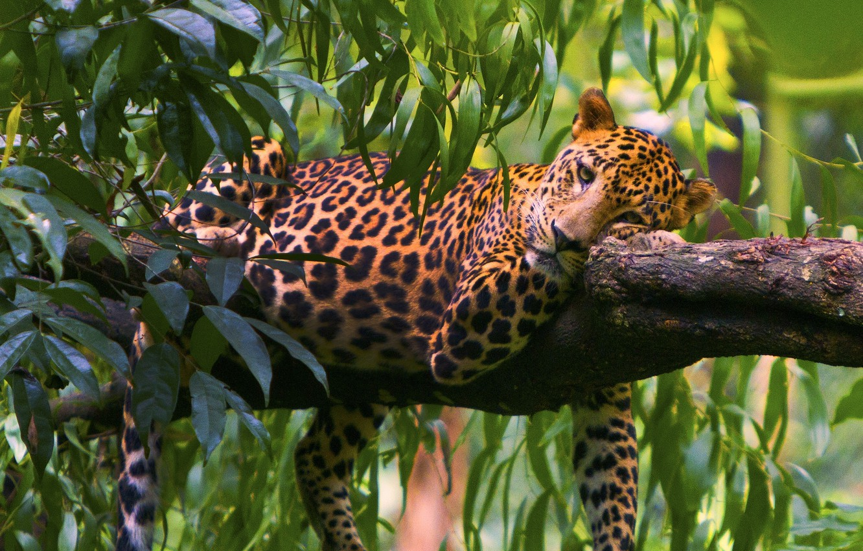 Photo wallpaper leaves, tree, stay, predator, leopard