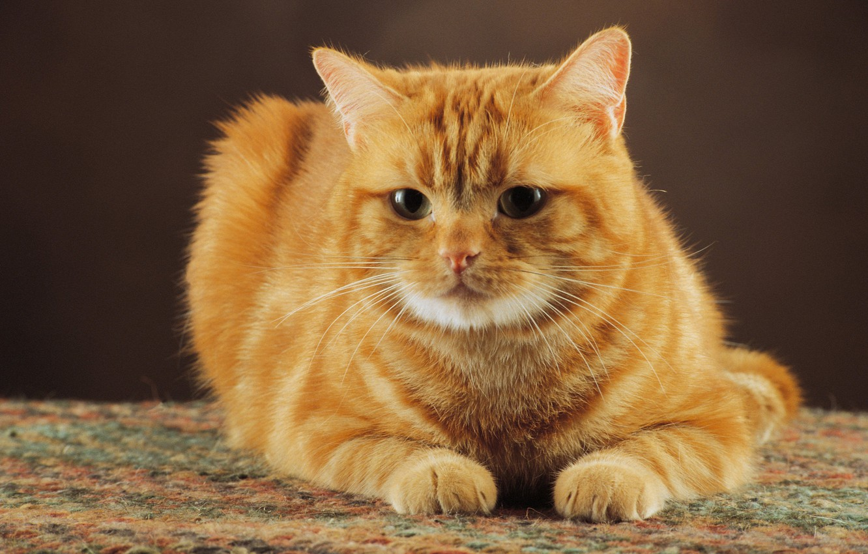 Photo wallpaper cat, red, cat