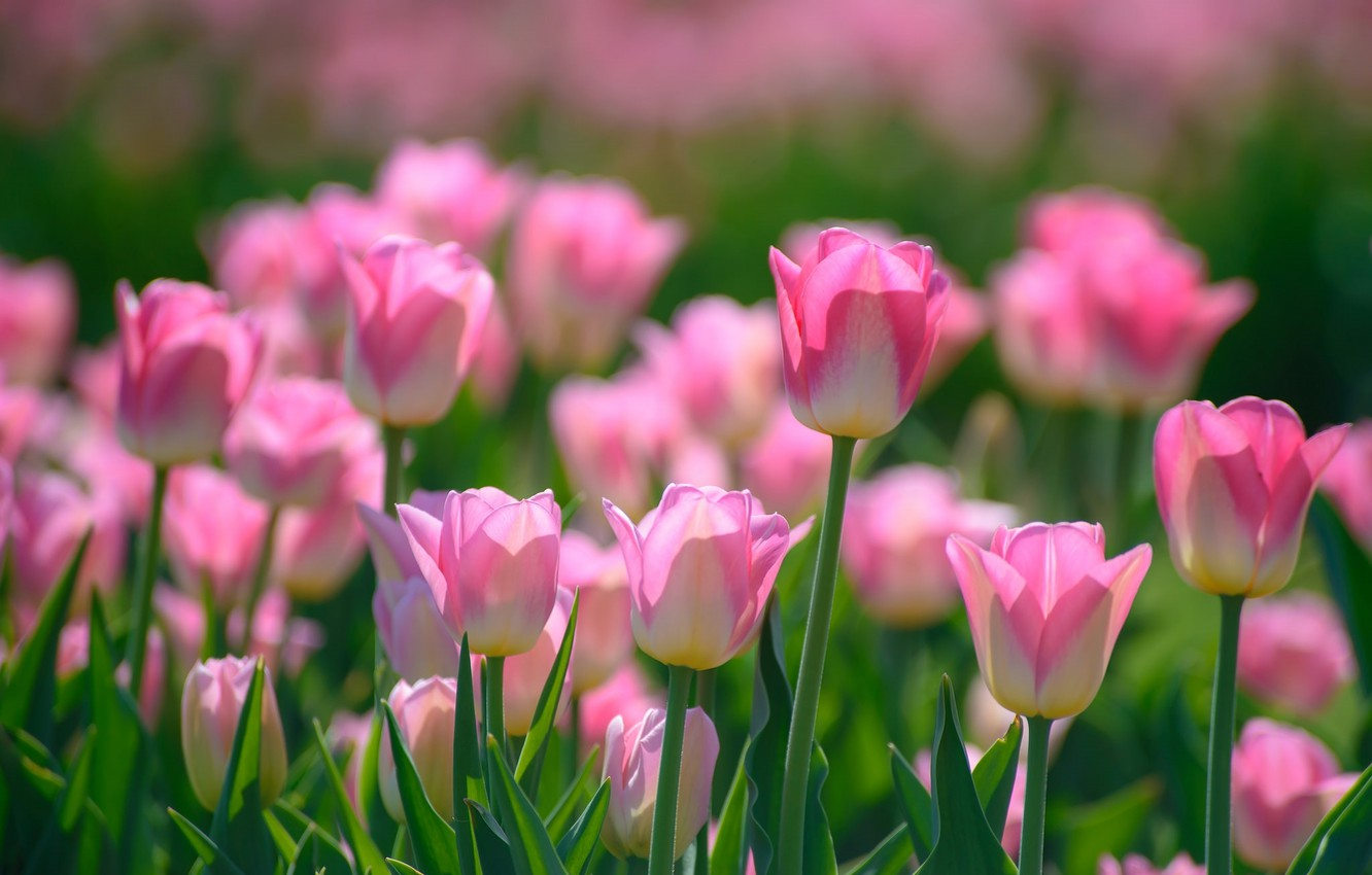 Photo wallpaper pink, spring, tulips, buds