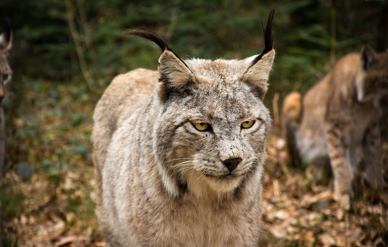 Photo wallpaper cat, look, face, lynx