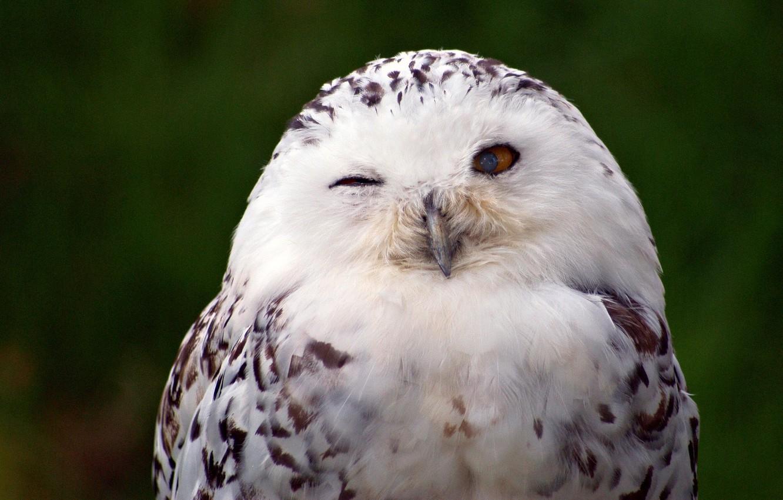 Photo wallpaper bird, snowy owl, white owl
