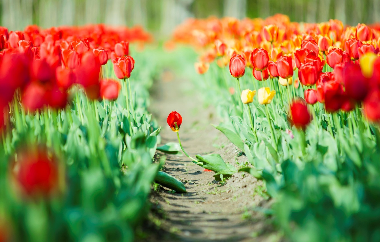 Photo wallpaper leaves, flowers, red, green, background, Wallpaper, tulips, wallpaper, widescreen, flowers, background, full screen, HD wallpapers, …