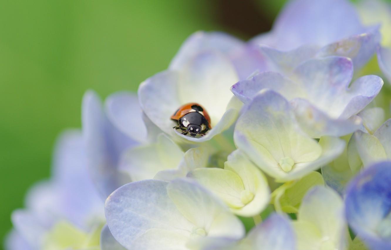 Photo wallpaper macro, flowers, plant, ladybug, beetle, petals, light, insect, hydrangea