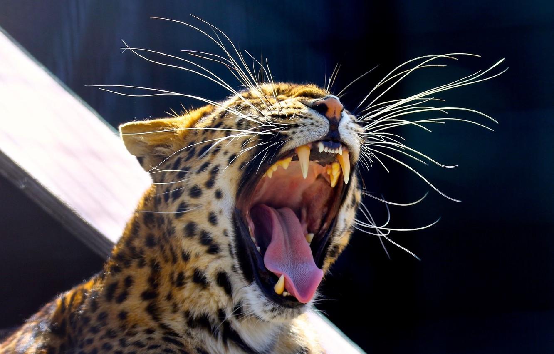 Photo wallpaper language, mustache, face, predator, mouth, fangs, wild cat, yawns, the Amur leopard